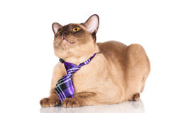 Funny burmese cat in a tie Royalty Free Stock Images