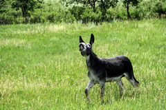 Funny Burro Royalty Free Stock Images