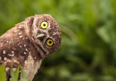 Free Funny Burrowing Owl Athene Cunicularia Tilts Its Head Outside It Royalty Free Stock Photography - 117678487