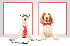 Funny business dogs. Two funny business dogs in the office royalty free stock photos