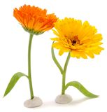 Funny Calendula Flowers Stock Photography