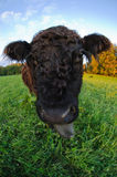 A funny calf Royalty Free Stock Photography
