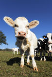 Funny calf Royalty Free Stock Photography