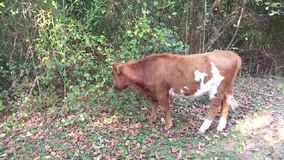 Funny calf grazing in the forest stock video
