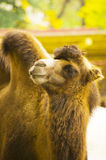 Funny   camel. Funny red two-humped camel Royalty Free Stock Images