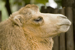 Funny   camel. Funny  white two-humped camel Stock Images