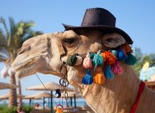 Funny camel Royalty Free Stock Images