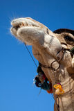 Funny camel Stock Image