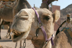 Funny camel. Extremely clever and funny Camel face Royalty Free Stock Photos