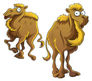 Funny Camel Royalty Free Stock Photography