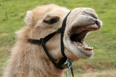 Funny Camel. Camel with a very funny expression and open mouth Stock Photography