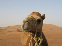 A funny camel in desert Royalty Free Stock Images