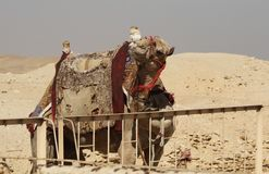 Funny camel. Camel in desert with funny expression and saddle for tourist to ride. Polluted sky near the Great Pyramids, Giza, Egypt, on the outskirts of Cairo royalty free stock image