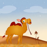 Funny camel in the desert Stock Photography