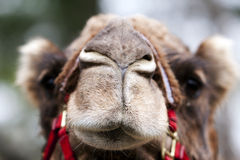 Funny camel face. Funny closed nose and mouth of an African Mongolian camel dromedary face Royalty Free Stock Image