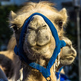 Funny Camel Face. Portrait of a camel in the city Stock Images