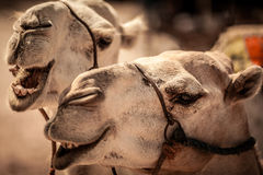 Funny camel faces. Closeup of a funny camel faces with open mouth Stock Photos