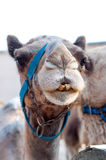 Funny camel. Camel head-shot with funny teeth Royalty Free Stock Images
