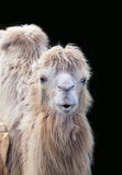 Funny camel portrait. Close-up of a funny smiling camel head Royalty Free Stock Images