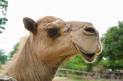Funny camel portrait. Happy camel, The facial expression of a camel Stock Images