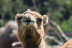 Funny Camel. Portrait view of a cute camel that appears to be whistling Stock Photos