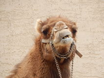 Funny Camel. Smiling Face for the camera Stock Photo