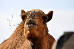 Desert camel Royalty Free Stock Photography