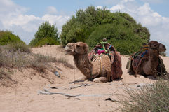 Funny camel. Two funny camels in entertaiment nature park, Turkey Stock Images