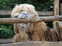 Funny camel in zoo Royalty Free Stock Photo
