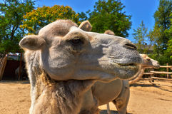 Funny camel in the zoo. Closeup photo Stock Image