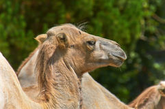 Funny camel in the zoo Royalty Free Stock Photos