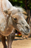 Funny camel in the zoo. Closeup photo Royalty Free Stock Photo