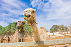 Funny camels Royalty Free Stock Images