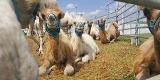 Funny camels lie on the grass in nature