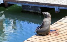 Funny Cape fur seal sitting on wooden jetty under sun looking at sea in the city Cape Town, South Africa, Victoria and Alfred Wate. Rfront area. Arctocephalus royalty free stock photo