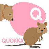 Funny cartoon animals vector alphabet letter set. Funny cartoon animals vector alphabet letter for kids from A to Z. Q is Quokka. Vector illustration Royalty Free Stock Images
