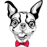 Funny cartoon hipster Boston Terrier breed smiling royalty free stock images
