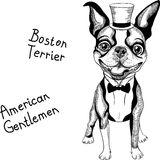 Funny cartoon hipster Boston Terrier breed smiling royalty free stock photography