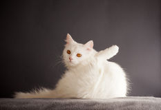 Funny cat Royalty Free Stock Photos