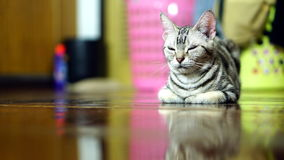 Funny Cat. American Short Hair Cat. The classic tabby cat Royalty Free Stock Images