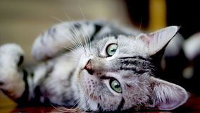Funny Cat. American Short Hair Cat. The classic tabby cat Royalty Free Stock Image