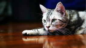 Funny Cat. American Short Hair Cat. The classic tabby cat Royalty Free Stock Photos