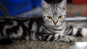 Funny Cat. American Short Hair Cat. The classic tabby cat Royalty Free Stock Photo