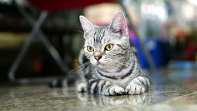 Funny Cat. American Short Hair Cat. The classic tabby cat Stock Photography