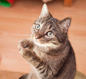 Funny cat asking for a snack. Funny european cat asking for a snack Stock Photo