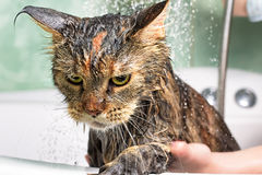 Funny Cat bath. Cat bath. Wet cat. Girl washing cat Stock Images