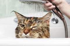 Funny Cat bath. Funny cat. Wet cat. Girl washing cat Royalty Free Stock Photography