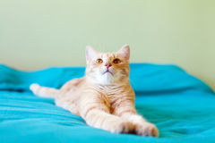 Funny Cat. In the bedroom Royalty Free Stock Images