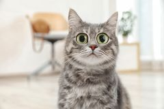 Funny cat with big eyes at home. Cute pet royalty free stock images