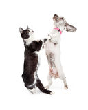 Funny Cat and Dog Dancing Together Royalty Free Stock Photography